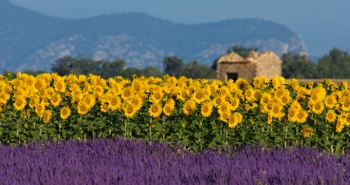 French field of sunflowers and lavender